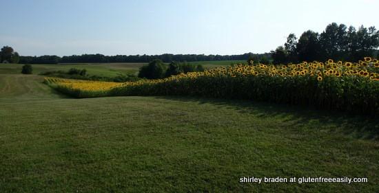 Mica Mine Farm Sunflowers