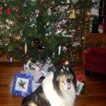 Our beloved collie Sonny came into our lives in December 2010, right before Christmas. He's a gluten-free, grain-free dog. [from GlutenFreeEasily.com]