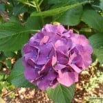 hydrangea, summer, gfe, gluten free easily
