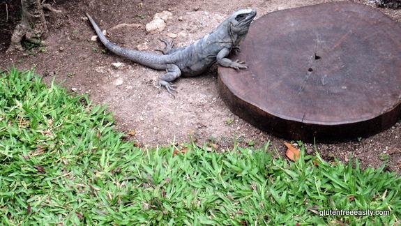 "Mr. Iguana Said ""No Entrance"" One Afternoon, Casa del Mar Cozumel"