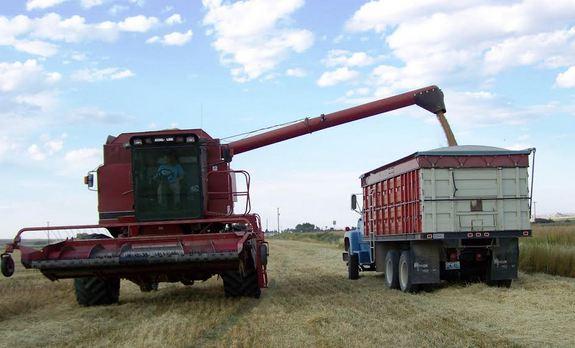 Harvesting GF Harvest Oats in Fields